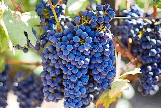Rgny grapes vines