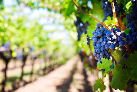 Vinesse grapes vineyards