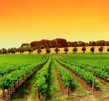 Hll-vineyard-sunset-2