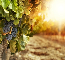 Vineyard-sunset-3