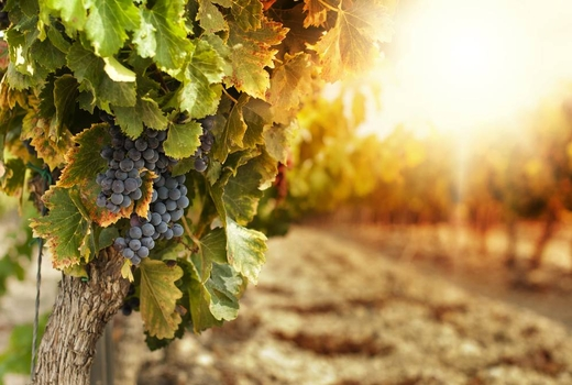 Vineyard sunset 3