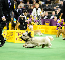 Westminster-dog-show-4_650