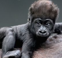 Baby gorilla wallpaper 1